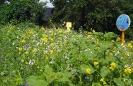 Blühwiese der Naturheilpraxis Tapken_12